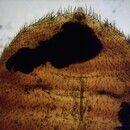 Bettwanze. Bettwanze Cimex lectularius Ventralansicht. Im hinteren Teil der Wanze befinden sich d...