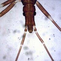 Chagas-Krankheit. Triatomenlarve Kopf. Raubwanze (Reduviidae). Man erkennt die Antennen, Augen un...