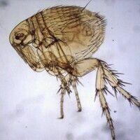 Flöhe. Pestfloh Xenopsylla cheopis. Die Pleura des Mittelbeins ist geteilt durch eine Verstärkung...