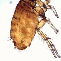 Flöhe. Katzenfloh Ctenocephalides felis (männlich). Im hinteren Abschnitt sind Borsten sowie darü...