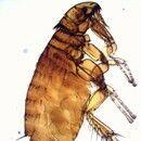 Flöhe. Katzenfloh Ctenocephalides felis (männlich).Am Kopf  sind zwei Kämme (Genal- und Pronotal-...