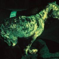 Mikrosporie: an Mikrosporie erkrankter Hund unter Wood-Licht, befallene Areale mit grün-gelber Fl...