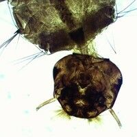 Mücken. Kopf einer Aedes Larve. Die vorne am Kopf befindlichen Mundbürsten sind für die Nahrungsa...