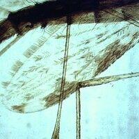Mücken. Anopheles (Stechmücke). Die Flügel sind lang, schmal und mit einer feinen Äderung. Die Ad...