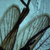 Mücken. Aedes aegypti. Die Flügel sind mit feinen Härchen ausgestattet.