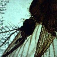 Mücken. Aedes aegypti (Stechmücke). Die Taster sind kurz, die Fühler mit Borsten versehen.