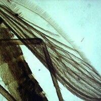 Mücken. Culex (Stechmücken). Die Flügel sind geädert und geschuppt, allerdings mehr einfarbig bra...