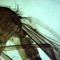 Mücken. Culex (Stechmücken). Das Hinterende ist stumpf, und es befinden sich dort drei Samenkapseln.