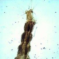 Mücken. Anopheles-Larve. Diese Stechmücken besitzen kein Atemrohr, sie liegen parallel zur Wasser...