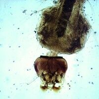 Mücken. Anopheles-Kopf (Stechmücke). Am Kopf sind die Mundwerkzeuge sowie am Körper die Palmhaare...