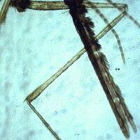 Mücken. Anopheles (Stechmücke). Die segmentierten Taster sind in der gleichen Länge wie der Stech...