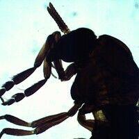 Mücken. Simulium damnosum (Kriebelmücke). Am Kopf befinden sich kurze, hornförmige Fühler, der Th...