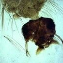 Mücken. Culex-Larve. Im Kopf sind die Mundbürsten sowie die Palmhaare am Körper zu erkennen.