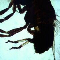 Mücken. Simulium damnosum (Kriebelmücke, Ordnung Diptera). Insgesamt fliegenähnlicher Habitus, ge...