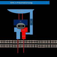 MHC-II Präsentationsweg