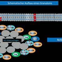 Schematischer Aufbau eines kutanen Granuloms (Schema variert n. E.v. Stebut). Das reife Granulom ...
