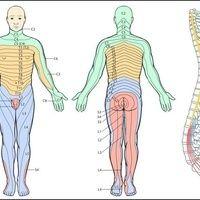 Kennzeichnung der Dermatome mit ihrer spinalen Zuordnung.